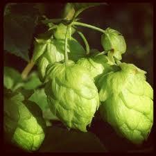 il fiore del luppolo usato per produrre la birra